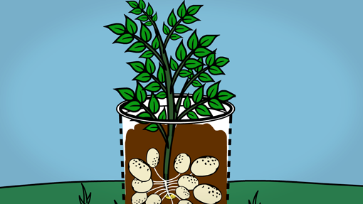 Potatoes growing in a bucket